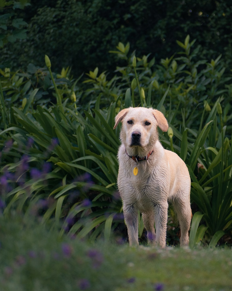 Dogs being used to tackle Japanese knotweed